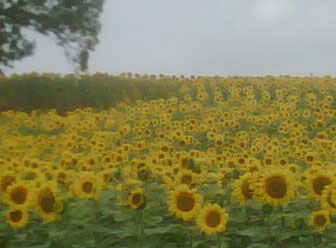 A field of glorious sunflowers