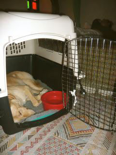 Togo practices sleeping in is crate in preparation for his flight from Casablanca to London