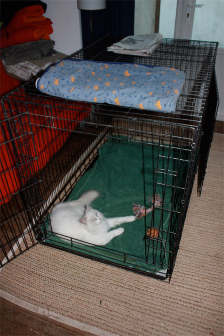 Rag Doll cat in training cage