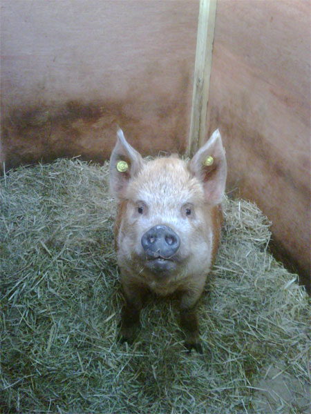 Sadie, the other Kune Kune on her way to America