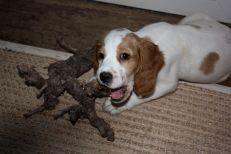 Louis the cocker spaniel puppy