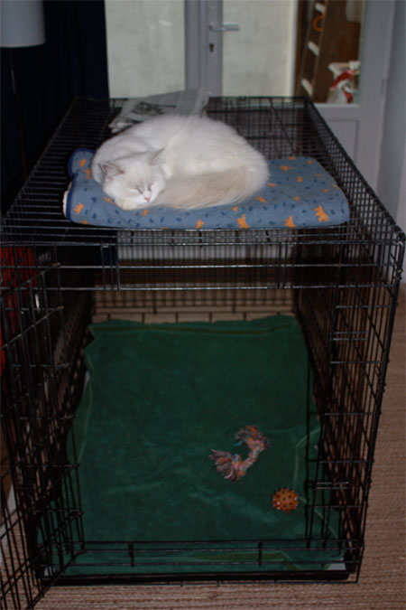 Rag Doll cat on top of training cage