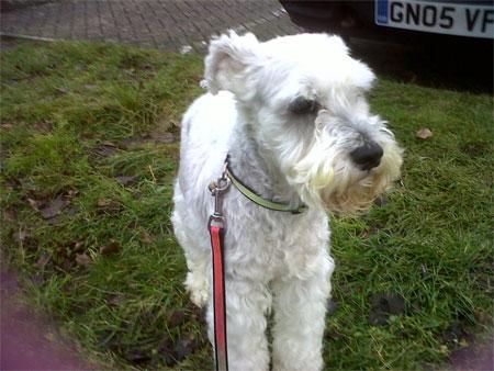 Mini Schnauzer pet travel from Netherlands to UK