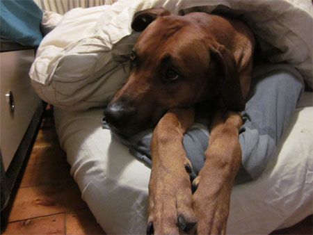 Jenga the African Ridgeback travelled from Canada to the UK with Animalcouriers