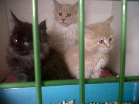 Maine Coon kittens travelling south to London