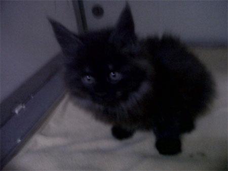 Maine Coon kitten as top-secret birthday present