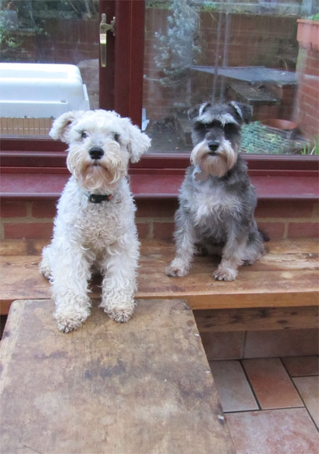 Mini Schnauzers home boarding with Animalcouriers