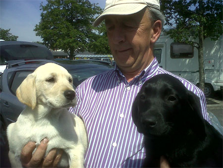 Labrador pups travel with Animalcouriers from Wales to Sweden