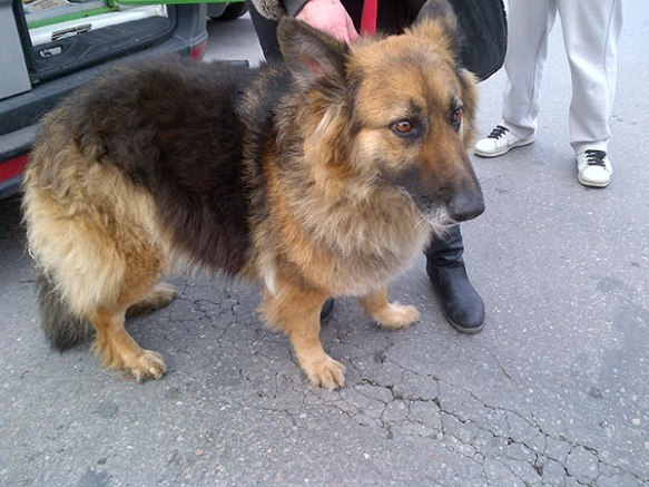 Irma, a beautiful German Shepherd who's on her way to a new life in Scotland