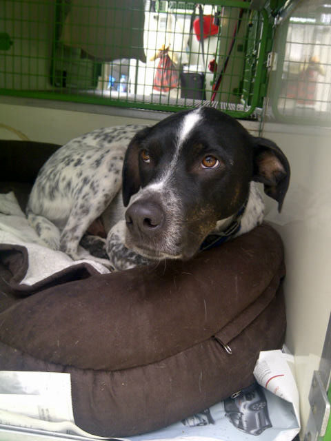 Sam is a fine dog who on first meeting we thought might prove overbouncy, but he has behaved impeccably. He is very good at taking his medication and very calm and gentle to walk.