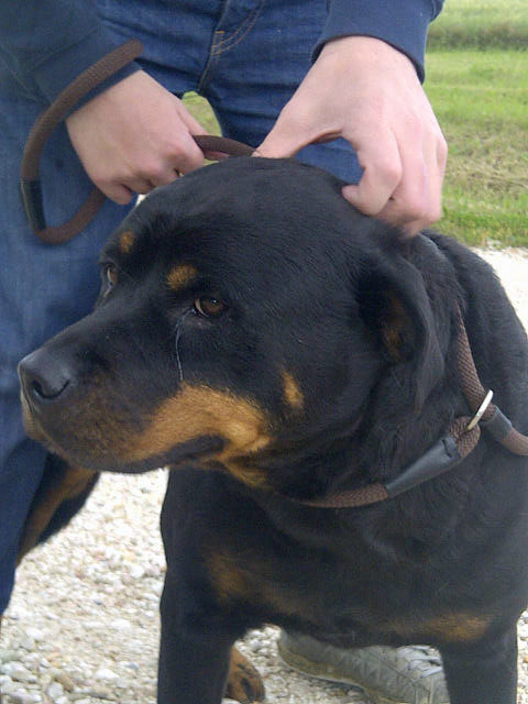 Roxy the Rotty is a calm girl who takes everything in her stride. She likes mooching about and takes a great interest in her surroundings.