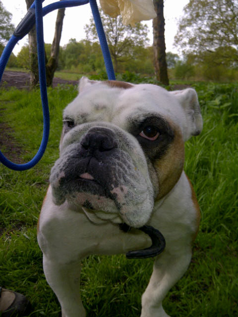 Handsome British Bulldog Winston was quite taken up with what to pack and whether his valise was going to be big enough.