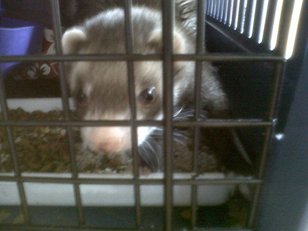 Cheeky Mikey the ferret will briefly homeboard with Animalcouriers