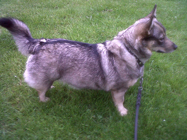 Alice shows her best profile — she's a fine example of the Swedish Vallhund breed