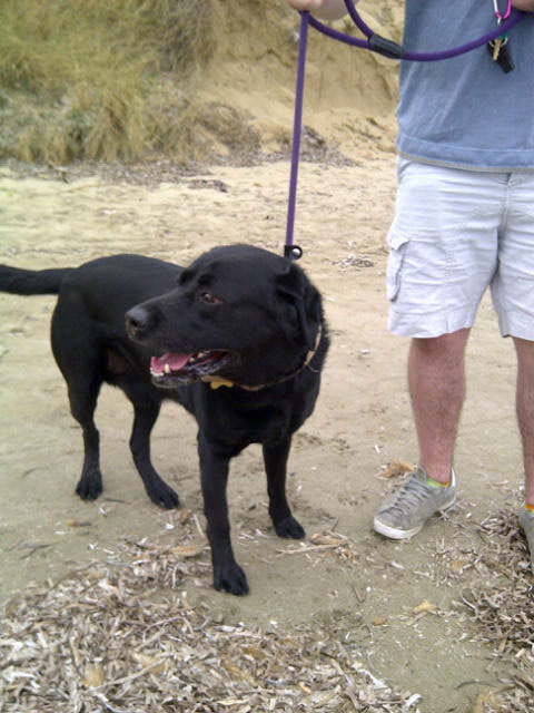 Labrador Winston