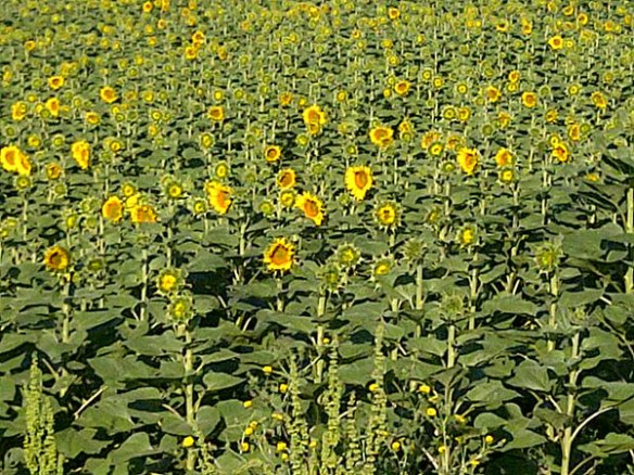 The Locanda grows its own sunflowers