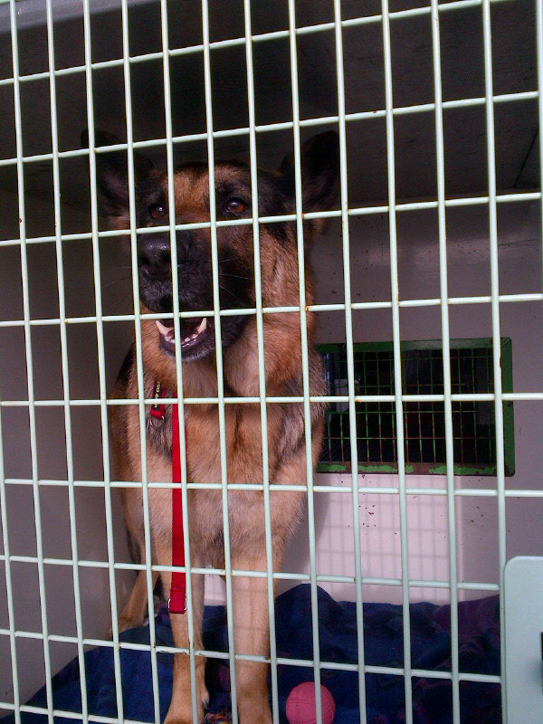 Roxi is a very friendly and good-natured German Shepherd Dog, with a very waggy tail! She's off to join Wendy in London.