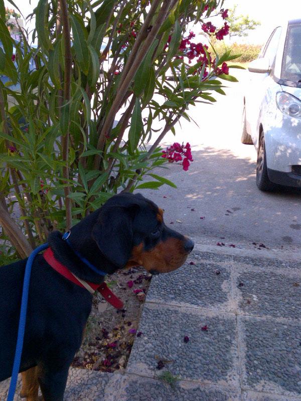 Roxy posing near an oleander bush