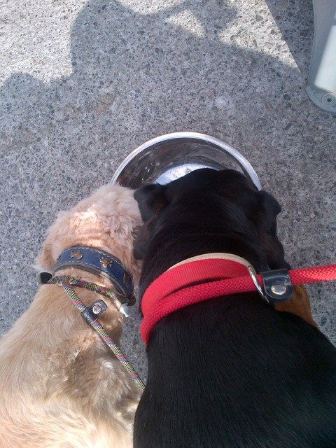 Roxy and Jasper enjoy a drink of water after their walk