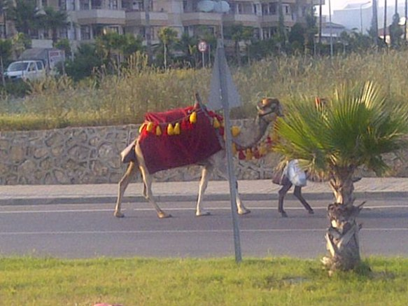 Camel in its Sunday best