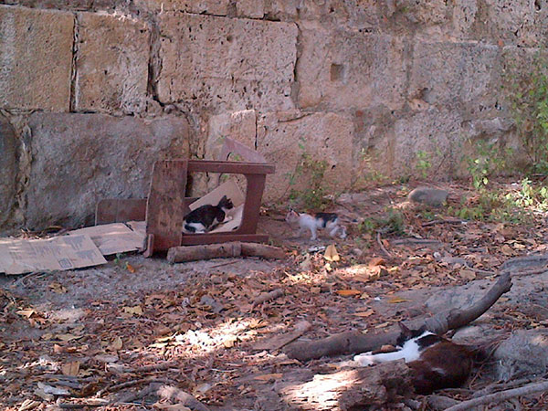 While walking our charges near the fort we came across this little area in the lee of the wall and under a tree, home to a mother cat and her kittens. She was lying down, keeping an eye on them as they played, oblivious to the spectators watching their antics