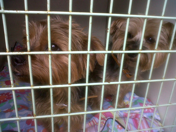 Yorkshire Terriers Pepper and Corky