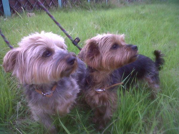 Pepper and Corky enjoy an evening walk