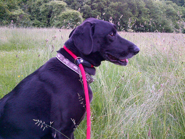 Reo enjoys a romp in the field behind courier J's home