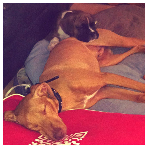 No wonder he needs a rest afterwards, snuggled up with his little Boxer brother