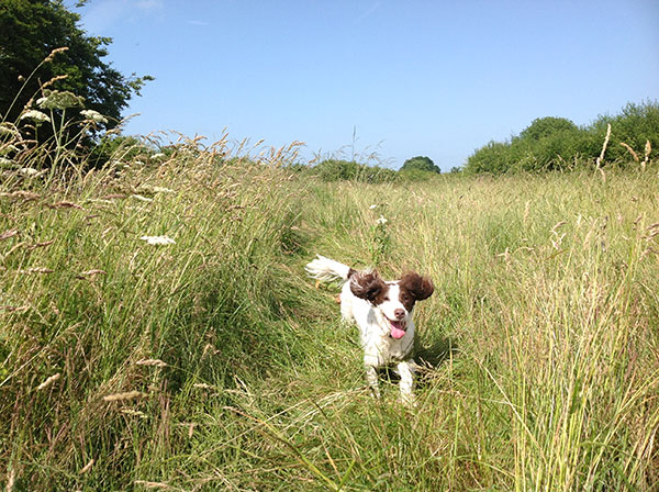 Springer Spaniel Lucy fly my pet to Gatwick from Malaga Spain with Animalcouriers