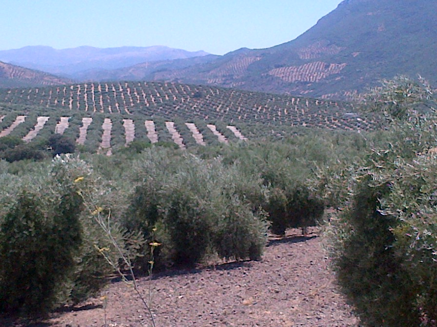 How's that for a view from the office window? As we motor through Andalucia, it's not hard to see why people fall in love with rows and rows of olive groves.