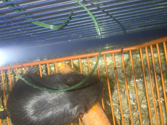 One of our gerbil passengers tucking in to a carrot