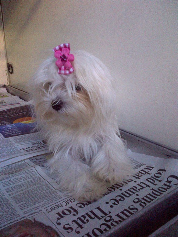 Young Pocket Maltese Bichon Frise Dolly is travelling with us from Denia to Brighton. We love her hair ribbon!