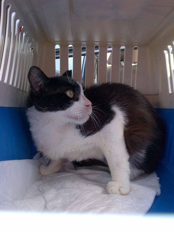 Handsome tuxedo cat Ajax