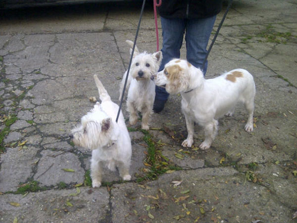 West Highland Terriers Cadbury and Harley, aged seven, with one-year-old Caper the Cocker Spaniel