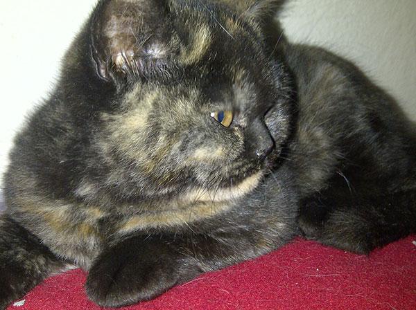 Black tortoiseshell Amelia