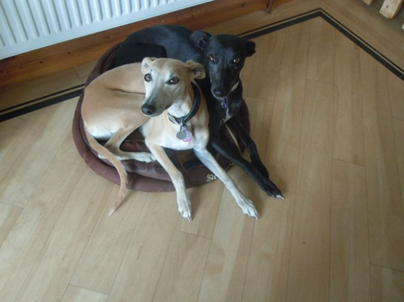 …and Whippet sisters, Athena (R) and Breeze (R).