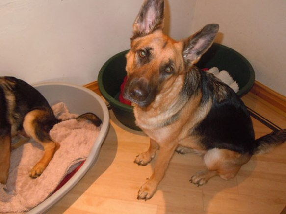 We also heard from a very excited Tracey and Martin who have adopted Kenny from Greece. He will have a short stay with our homeboarder, Lyn, next week. Kenny has four doggy sisters waiting to meet him! This is Skye, German Shepherd mum…