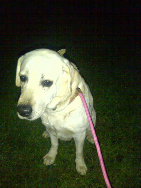 Lovely Labrador Lola is travelling with us to London. We reckon she'd easily win any 'waggiest tail' contest!