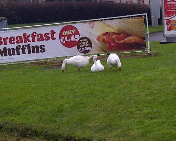 Geese at work, with an ad for quite a different sort of muffin in the background