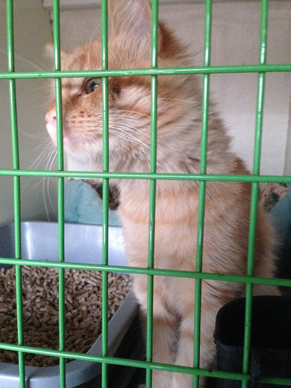 Gorgeous red tabby Xenia, saved from a life on the streets, is celebrating her 4 months birthday. She's travelled from Italy to France, across the Channel to the UK, and is now heading for her new home in Dublin via the ferry from Holyhead. A special fishy birthday supper seems in order!