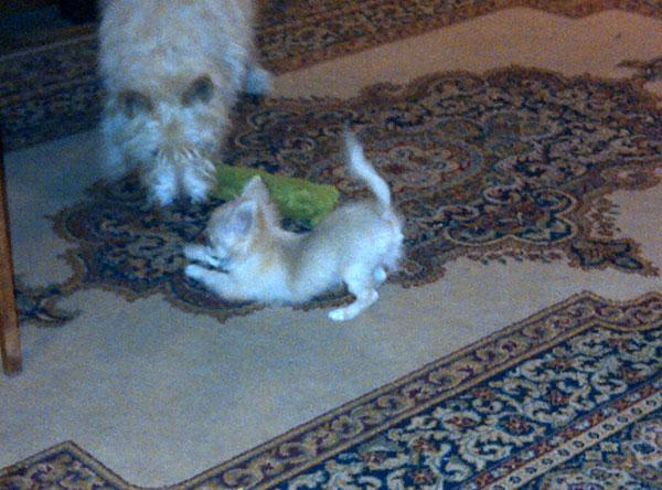 Bertie playing with housedog Hugo