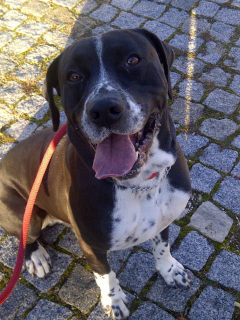 Scooby is a big, bouncy fellow who thinks courier M is just the best, and shows it with lots of licks and cuddles.