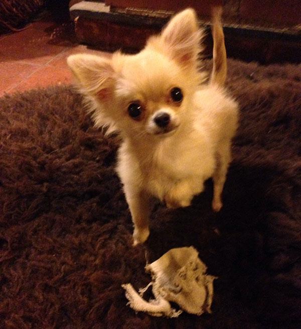 Bertie with Hugo's favourite toy — an ancient gardening glove!