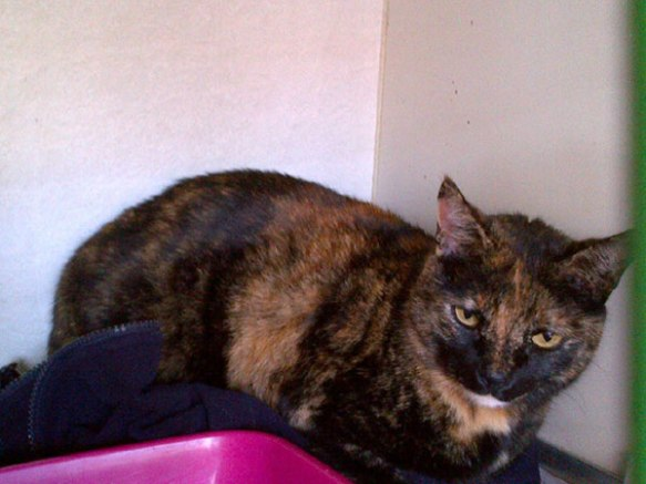 Lovely Tortie Scali