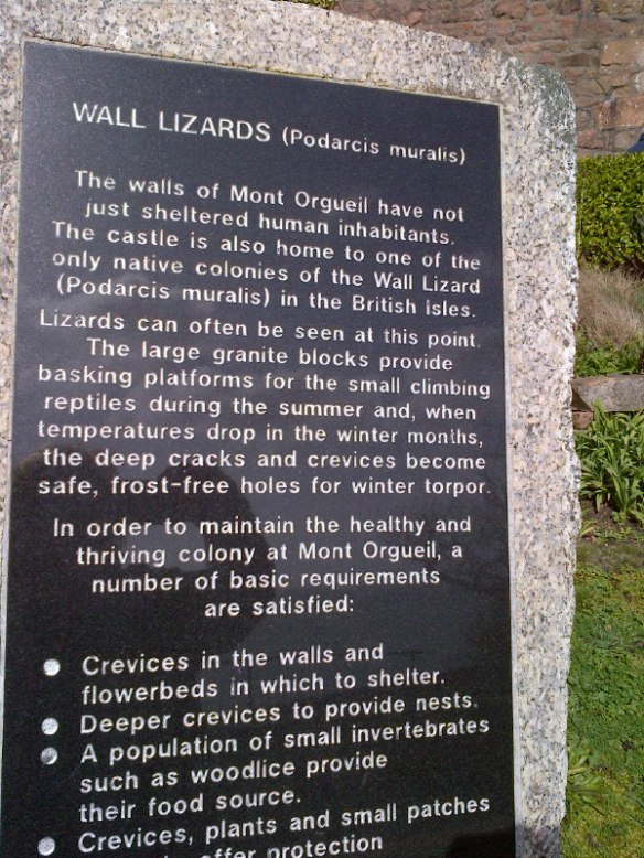 We didn't actually see any of these wall lizards…