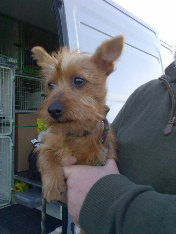 This little sweetie is Indie, an Australian Terrier pup aged just over 16 weeks, who's travelling with us from Powys in Wales to Soligne in France. Jane had to wait for Indie's pet passport to be ready and is very excited about meeting her — you can see why!