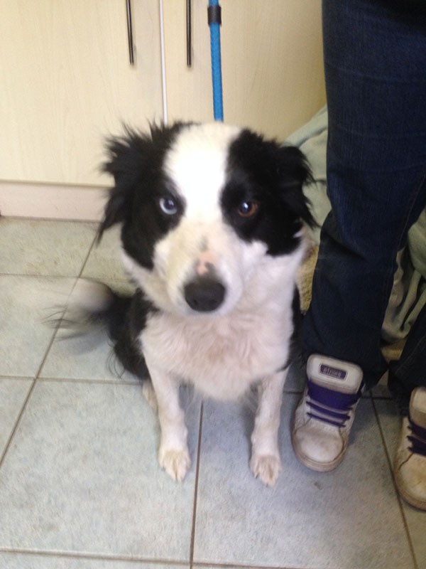 Then it was on to collect Border Collie Gwen. Born and bred on a farm in the Scottish Highlands, she's been trained as a sheepdog and is ready to start her working life on a sheep farm in Kent.