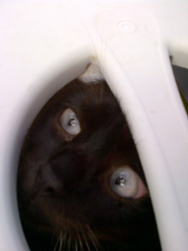 Siamese Panda's eyes peering out of the top of the carry box as we take her to our van