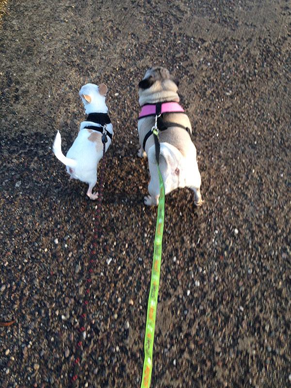 Daisy and Minnie enjoy their evening stroll